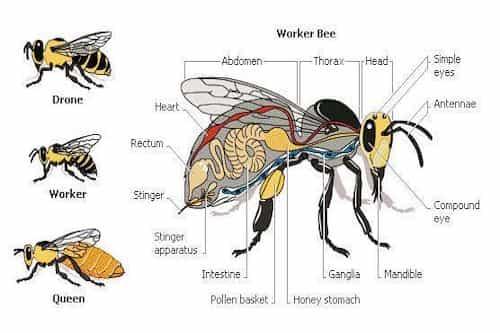 Queen, Drones And Worker Bee
