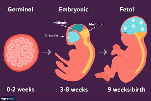 Three Stages Of Embryo